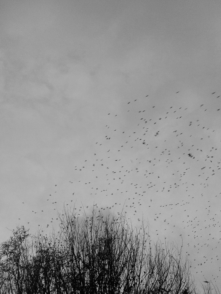 Migrations et Murmurations